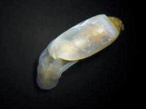 Cylichnidae Family