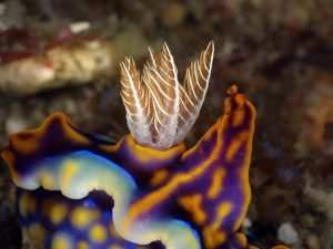 SORTING OUT THE TRUE NUDIBRANCHS