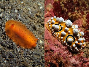 UNIQUELY UNITED BUT DECEPTIVE DISPLAY – THE SUCTORIAL FEEDING POROSTOMATA NUDIBRANCHS