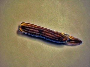 Runcinidae Family